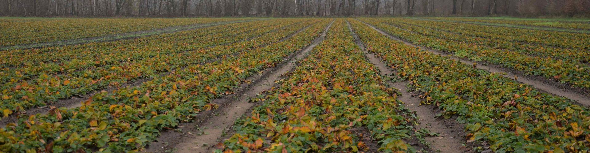 Produktion von Wartebeetpflanzen