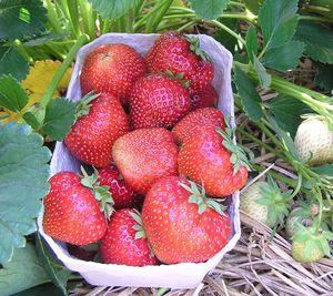 Große dunkelrote Früchte