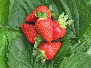 Früchte der Sorte Murano