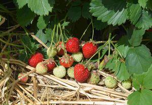 Owoce odmiany Senga