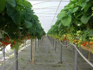 Plantacja substratowa Sonaty