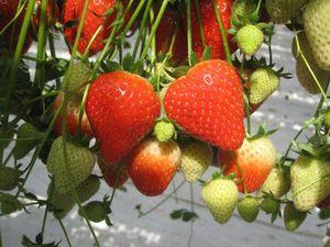 Hoher Anteil an Klasse 1-Früchten