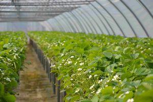 Blühende Erdbeerpflanzen der Sorte Ines in Stellagenkultur