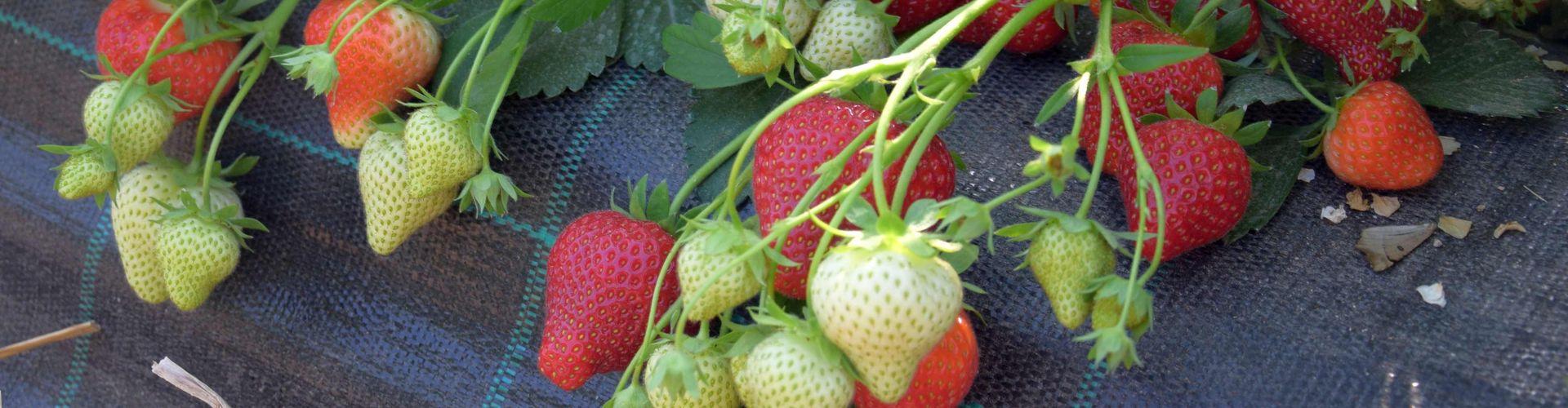Erdbeeren im Substratdamm