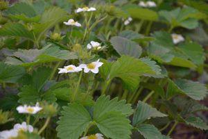 Blüten von Deluxe stehen über dem Laub