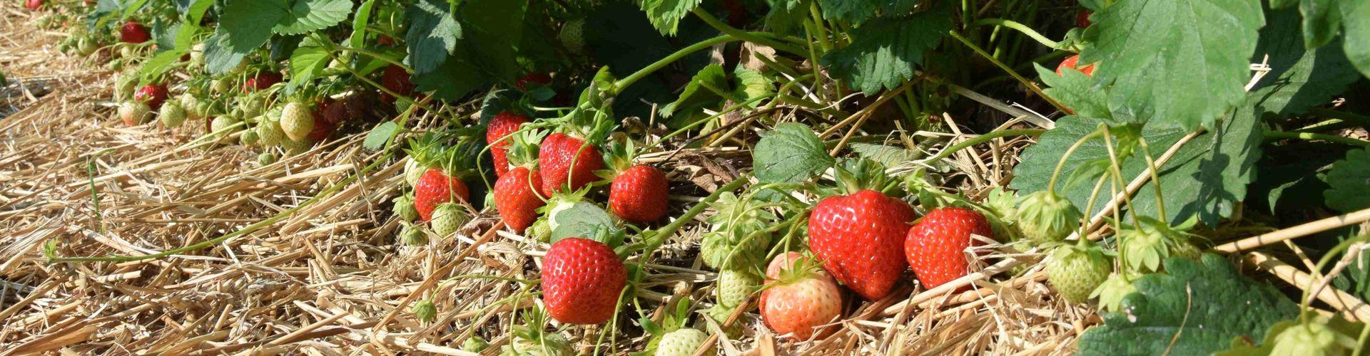 Klassischer Erdbeeranbau