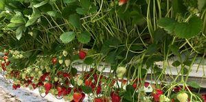 Erdbeersorte Magnum in Stellagenkultur