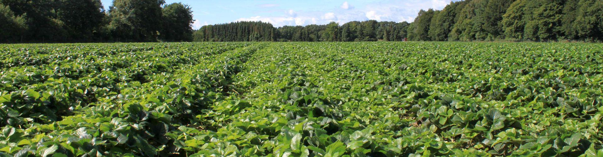 Geschlossener Pflanzenbestand im Vermehrungsfeld