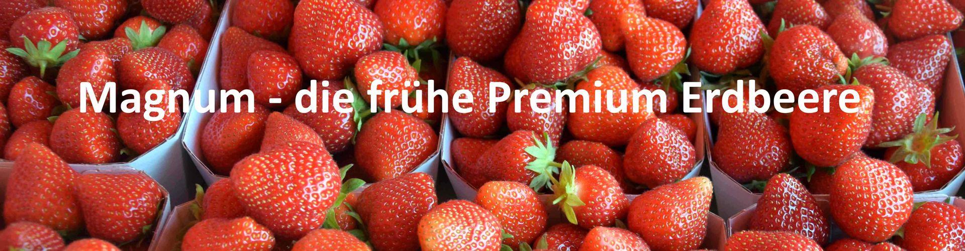 Magnum neue Erdbeersorte Geschmack Haltbarkeit Handel Direktvermarktung Erdbeere