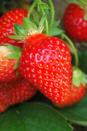 Frucht von Honeoye