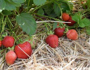 Owoce odmiany Asia