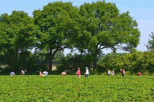 Konia eignet sich hervorragend für Selbstpflückplantagen