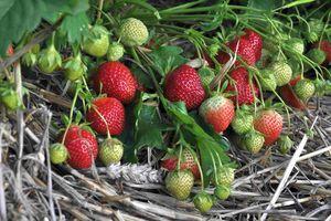 Owoce odmiany Polka