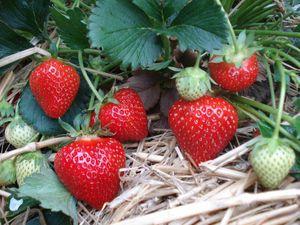 Früchte der Sorte Rumba