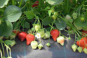 Erdbeersorte Magnum im Substrat