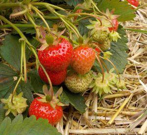 Erdbeersorte Deluxe in Freilandkultur